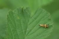 Geelbandlangsprietmot – Nemophora degeerella(a2)