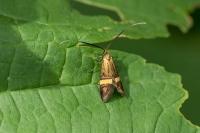 Geelbandlangsprietmot – Nemophoradegeerella