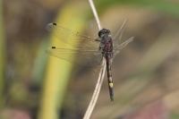 Gevlekte witsnuitlibel – Leucorrhinia pectoralis(a3)