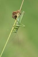 Grote groene sabelsprinkhaan vrouw – Tettigonia viridissima(b)