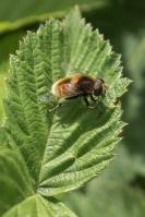 Hommelbijvlieg – Eristalis intricaria(a)