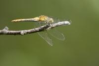 Kempense heidelibel vrouw – Sympetrum depressiusculum(a)