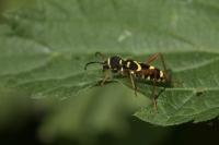 Kleine wespenboktor – Clytus arietis(a)