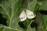 Scheefbloemwitje – Pieris mannii(a)