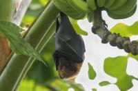 Vliegende hond – Acerodon jubatus(a)