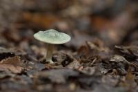 Groene anijstrechterzwam – Cliocybe odora(a)