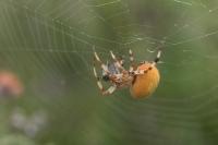 Viervlekwielwebspin met prooi – Araneus quadratus(a)