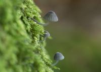 Blauwgrijze schorsmycena – Mycena pseudocorticola – The genus Mycena(a3)