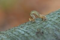 Gestippelde oogspanner rups – Cyclophora punctaria(a)