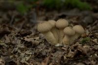 Plooivoetstuifzwam – Calvatia excipuliformis(a)