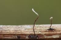 Roodvoetknotsje -Typhula erythropus(a2)