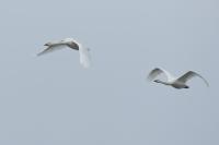 Wilde zwanen in de vlucht – Cygnus cygnus – WhooperSwan(a1)