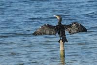 Aalscholver droogt veren – Phalacrocorax carbo – Great cormorant.(a)jpg
