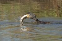 Aalscholver met gevangen snoek – Phalacrocorax carbo – great cormorant(2a)