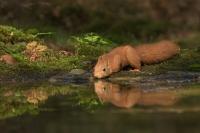 Eekhoorn drinkend – Sciurus vulgaris – Red squirrel(a)