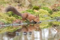 Eekhoorn drinkend – Sciurus vulgaris – Redsquirrel