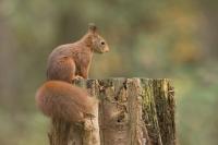 Eekhoorn op boomstronk – Sciurus vulgaris – Red squirrel(b)
