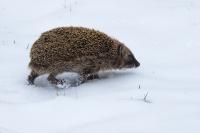 Egel in de sneeuw – Erinaceus – europaeus – commonhedgehog