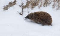 Egel is de weg kwijt in de sneeuw – Erinaceus europaeus – Common hedgehog(1a)