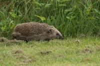 Egel overdag op stap – Erinaceus – europaeus – commonhedgehog