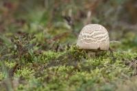 Karbolchampignon – Agaricus xanthoderma – Karbolchampignon