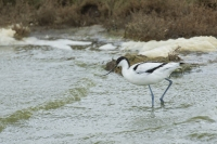 Kluut – Recurvirostra avosetta – PiedAvocet(b)