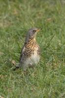Kramsvogel – Turdus pilaris – Fieldfare(a)