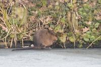 Muskus rat foeragerend – Ondatra zibethicus – Musk Rat(a)
