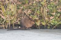 Muskusrat foeragerend – Ondatra zibethicus – Musk Rat(1)