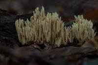 Rechte koraalzwam – Ramaria stricta – UprightCoral(a2)