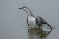 Roodkeelduiker – Gavia stellata – Red-throated Loon (a)