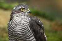 Sperwer koptekening – Accipiter Nisus – Sparow Hawk(a)