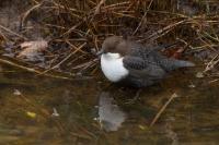 Zwartbuikwaterspreeuw in habitat – Cinclus cinclus cinclus – Dipper(a)