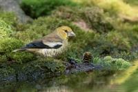 Appelvink jong – Euthrix potatoria – Hawfinch young(a)