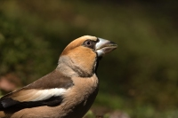 Appelvink man koptekening – Euthrix potatoria – Hawfinch(a)