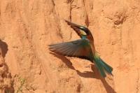 Bijeneter in de vlucht – Meropus apiaster – Bee-eater(a)