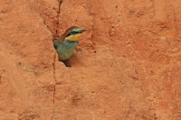 Bijeneter juv wacht op voedsel – Meropus apiaster Bee-eater young waiting forfood