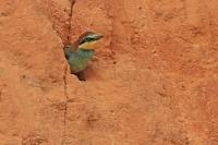 Bijeneter juv wacht op voedsel – Meropus apiaster Bee-eater young waiting fotfood