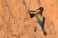 Bijeneter – Meropus apiaster – Bee-eater(a)