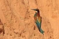 Bijeneter – Meropus apiaster – Bee-eater(a3)