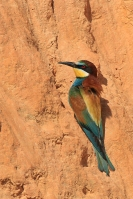 Bijeneter – Meropus apiaster – Bee-eater(b)