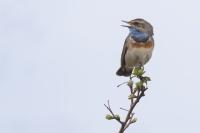 Blauwborst man zingend – Luscinia svecica – Bluethroat(a)