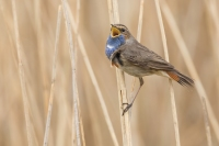 Blauwborst man zingend – Luscinia svecica – Bluethroat(a1)