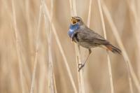 Blauwborst zingend in het riet – Luscinia svecica(a)