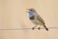 Blauwborst zingend – Luscinia svecica – Bluethroat(a)