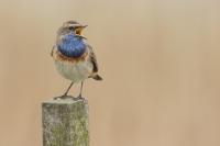 Blauwborst zingend – Luscinia svecica – Bluethroat(a2)