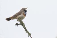 Blauwborst zingend – Luscinia svecica – Bluethroat(a3)