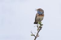 Blauwborst zingend – Luscinia svecica – Bluethroat(a5)