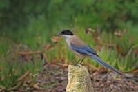 Blauwe ekster – Cyanopica cyana – Iberian Magpie(a)
