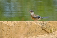 Blauwe ekster – Cyanopica cyana – Iberian Magpie young(a2)